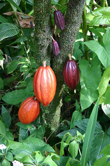 A cacao tree with fruit pods in various stages of ripening. (Public Domain)